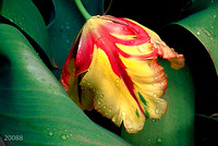"""After the Rain""     (Parrot Tulip)"